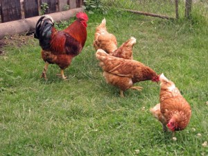 apostle-david-paul-rodgers-compares-gay-marriage-to-rooster-and-hens